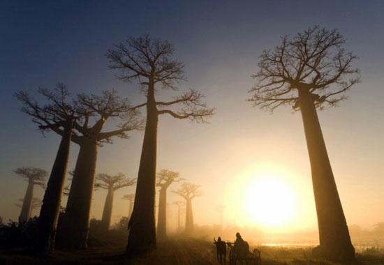 """ดินแดนต้นไม้มหัศจรรย์และสัตว์แปลก  """"มาดากัสการ์"""""""
