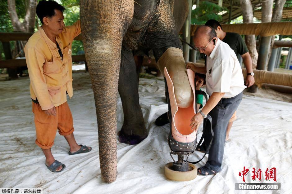 """เจ้าหน้าที่ช่วยเปลี่ยนขาเทียมอันใหม่ให้ """"พังโม่ชะ"""" ช้างที่เหยียบระเบิดเมื่อ 9 ปีก่อน ตามน้ำหนักตัวที่เพิ่มขึ้น!!!"""