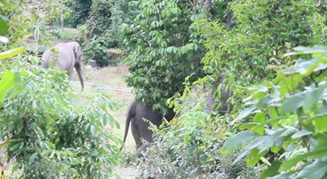 """""""ช้างป่า 3 ตัว"""" พากันบุกเข้าทำลายข้าวของชาวบ้านพังเสียหาย!!!"""
