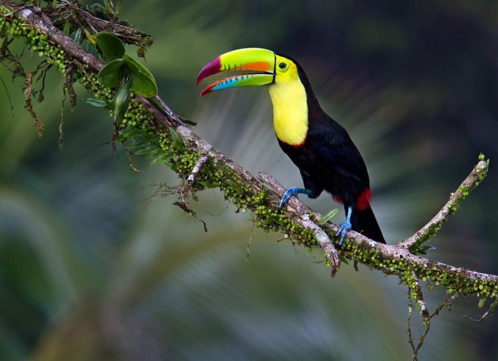 """""""Keel-billed Toucan"""" นกที่มีจะงอยปากสีสันสดใส สุดเเสนฟรุ้งฟริ้ง!!!"""