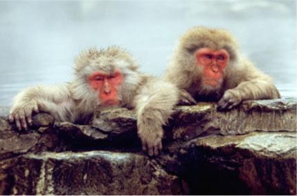 """ชมความน่ารัก!!! """"ลิงหิมะญี่ปุ่นเเก้มเเดง"""" เเช่บ่อน้ำพุร้อนเพื่อคลายความหนาว!!!"""