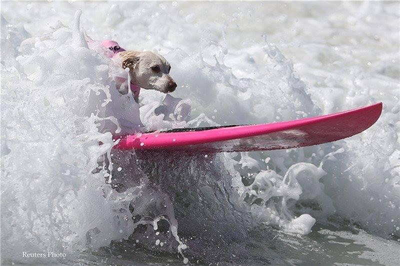"""เจ้าตูบโชว์พริ้ว!!! """"ในการเเข่งขันสุนัขโต้คลื่นประจำปี"""" ที่รัฐแคลิฟอร์เนีย ของสหรัฐ!!!"""