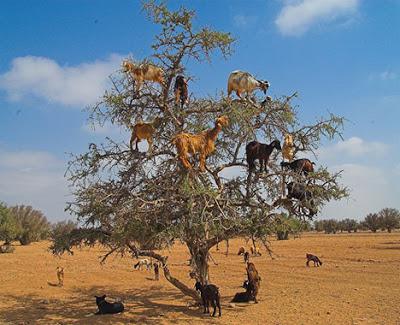 """เเปลกเเต่จริง!!! """"ฝูงเเพะที่ปีนป่ายขึ้นไปกินผลไม้"""" บนต้นอาร์แกน ในประเทศโมร็อคโก!!!"""