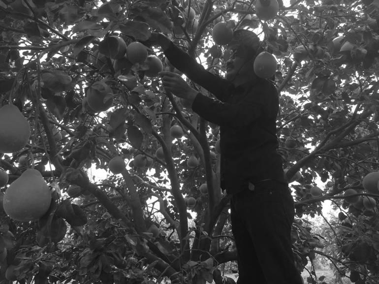 สำนึกในพระมหากรุณาธิคุณ ชาวสวนส้มโอปากพนัง ชีวิตดีขึ้น เพราะโครงการพระราชดำริ