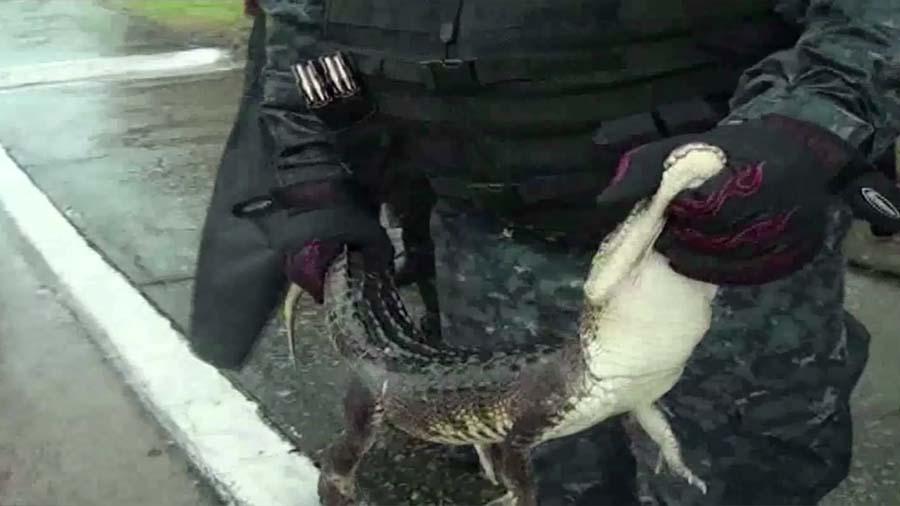 """""""ลูกจระเข้"""" โผล่กลางถนน หลังฝนตกหนักทำให้มีน้ำท่วมขังแหล่งน้ำตามธรรมชาติที่เม็กซิโก !!!"""