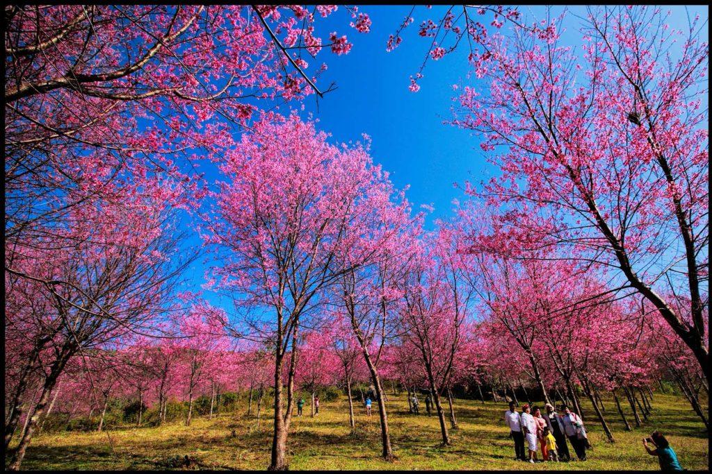 สวยสะพรั่ง…เที่ยวภูเขาสีชมพู ชมดอกซากุระเมืองไทย