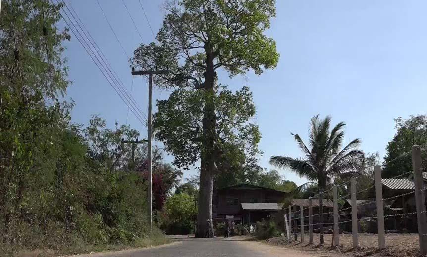 """ต้นยางยักษ์อายุ 200 ปี!!! """"ยืนต้นกลางถนน"""" ชาวบ้านเชื่อเป็นต้นไม้ศักดิ์สิทธิ์!!!"""