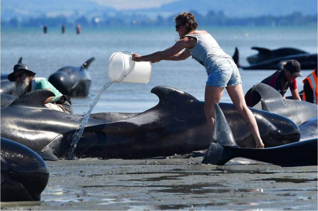 """มาอีกระลอก!!! """"ฝูงวาฬเกยตื้นหาดนิวซีแลนด์เพิ่มอีก 240 ตัว"""" ตายรวมเกือบ 400 ตัวเเล้ว!!!"""