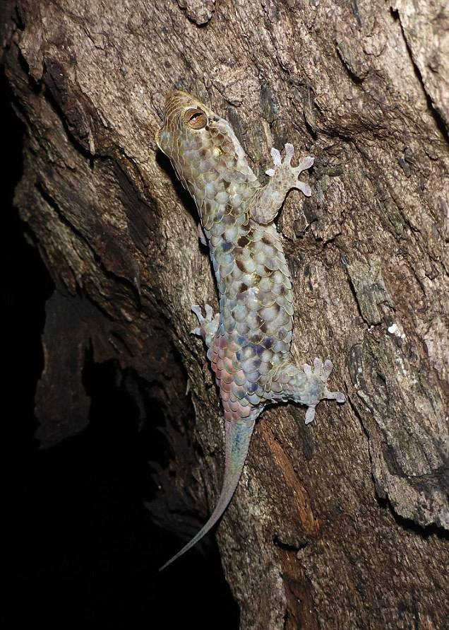 """หวัดดีชาวโลก!!! Geckolepis megalepis!!! """"ตุ๊กแกสายพันธุ์ใหม่"""" ที่ถูกค้นพบในมาดากัสการ์!!!"""