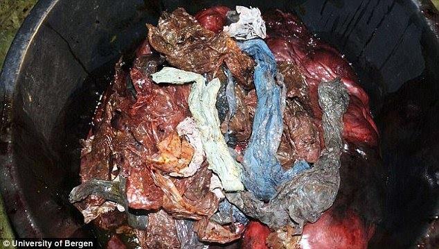 """น่าเศร้า!!! """"พบถุงพลาสติกจำนวนมาก"""" ในกระเพาะอาหารของวาฬที่ตายแล้ว!!!"""
