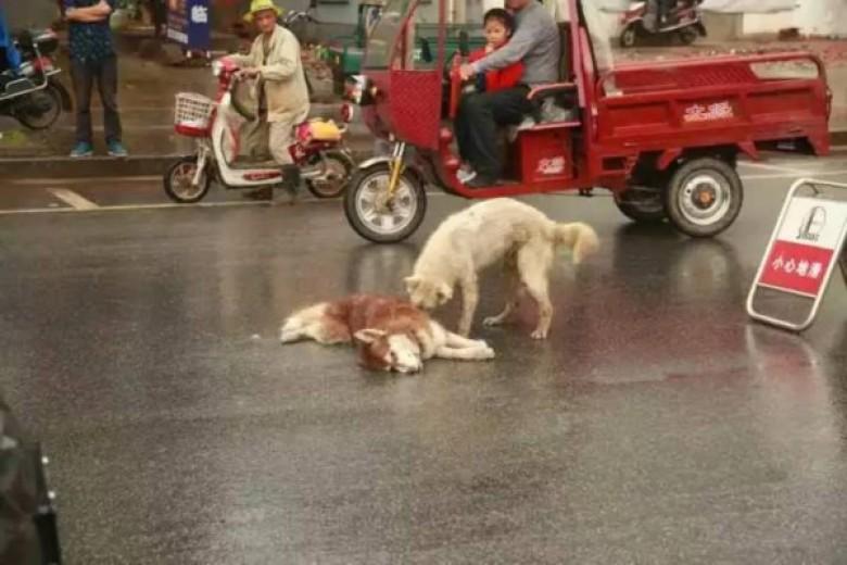 สงสารหนักมาก!!! เจ้าหมานั่งเฝ้าเพื่อน ปลุกยังไงก็ไม่ตื่นหลังเพื่อนถูกรถชนกลางถนน