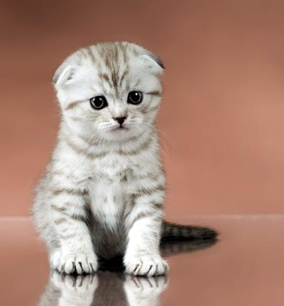 เตือน!!!! สมาคมสัตวแพทย์ให้หยุดเลี้ยงพันธุ์สก๊อตติชโฟลด์ สงสารสุขภาพน้องแมว