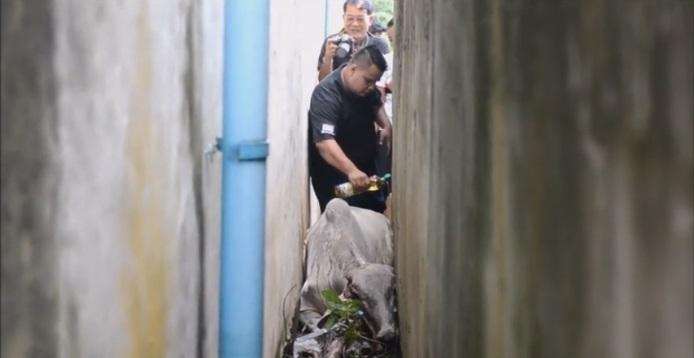 กว่าจะหลุด!!!! วัวท้องแก่วิ่งหนีฝนจนติดซอกตึก ดิ้นจนแผลเต็มตัว ช่วยกันทุลักทุเล