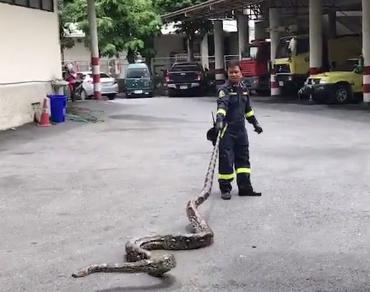 งูเหลือมยักษ์หัวร้อน!!! ไล่ฉกรถเก๋งที่ผ่านไปมา จนท.ต้องช่วยกันจับอลหม่าน!