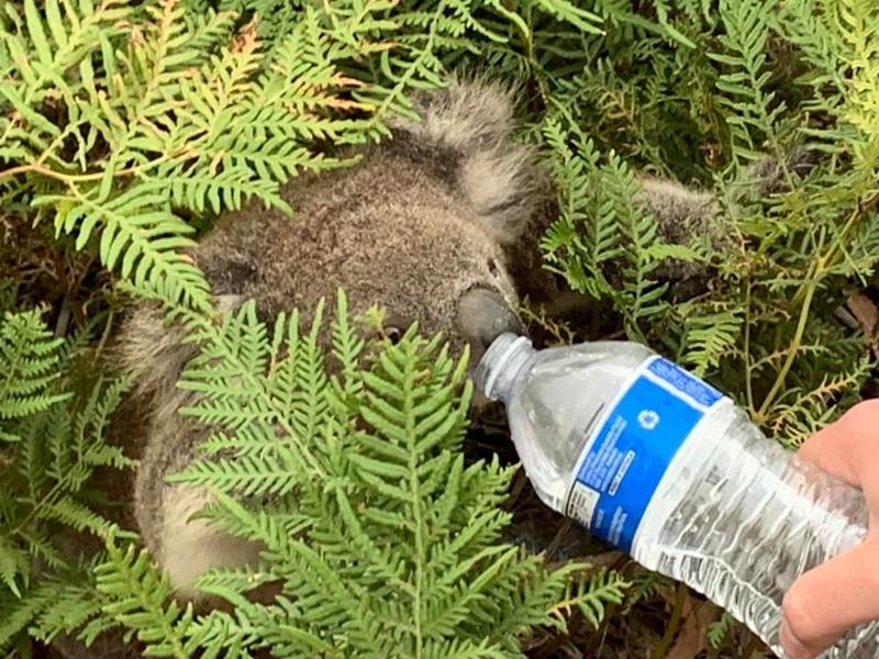 สัตวแพทย์เตือน!!! โคอาลารอดไฟป่า กลับตายหลังคนป้อนน้ำจากขวด!