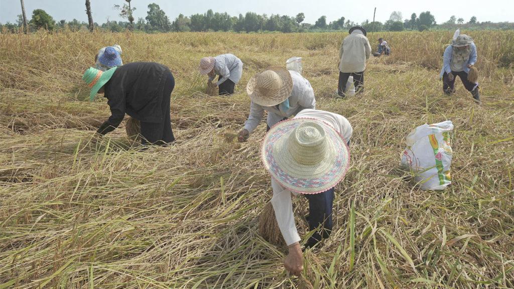 """""""เกษตรกร"""" เฮ ถึงคิวรับเงิน หลังคลังเตรียมแจกเงินเกษตรกรคนละ 15,000 บาท 9 ล้านคน"""